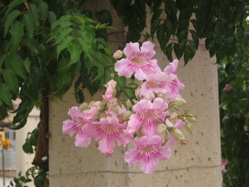Podranea ricasoliana (Pink trumpet vine)