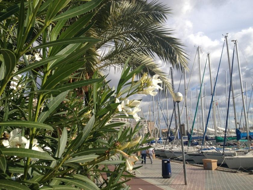 Nerium oleanders in Palma de Mallorca